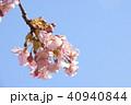 日本の桜 40940844