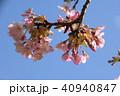 日本の桜 40940847
