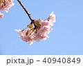 日本の桜 40940849