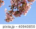 日本の桜 40940850