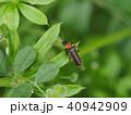 クビボソジョウカイ 昆虫 ジョウカイボン科の写真 40942909