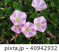 浜昼顔 ヒルガオ科 花の写真 40942932