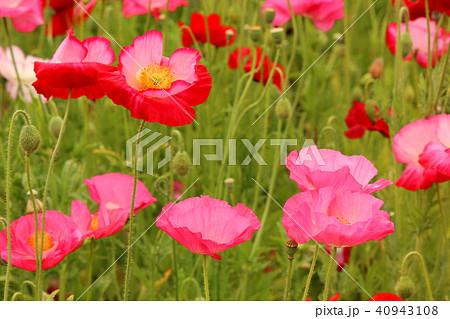 赤とピンクのポピーの饗宴(5) 40943108
