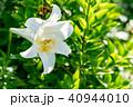ユリ 百合 花の写真 40944010