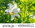 ユリ 百合 花の写真 40944012
