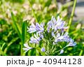 アガパンサス ヒガンバナ科 花の写真 40944128