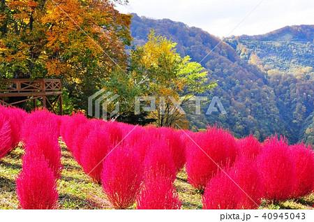 湯沢高原「アルプの里」 真っ赤に色づいたコキア(ほうき草) 40945043