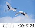 丹頂 青空 飛ぶの写真 40945124
