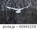 飛ぶ 鶴 丹頂の写真 40945258