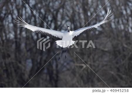 正面から飛んでくるタンチョウ(北海道・鶴居) 40945258