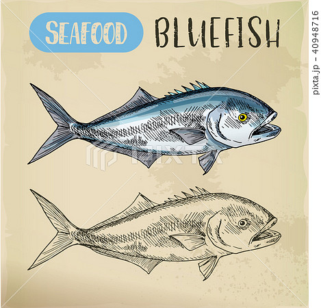 Seafood sketch of bluefish sign 40948716