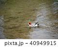 カモ 鳥 野鳥の写真 40949915