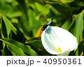台湾 花期 紫陽花の写真 40950361