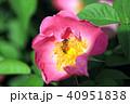 薔薇 バラ 花の写真 40951838