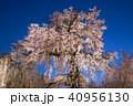 桜 春 花の写真 40956130
