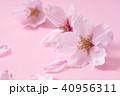 桜 ソメイヨシノ 春の写真 40956311