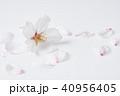 桜 ソメイヨシノ 春の写真 40956405