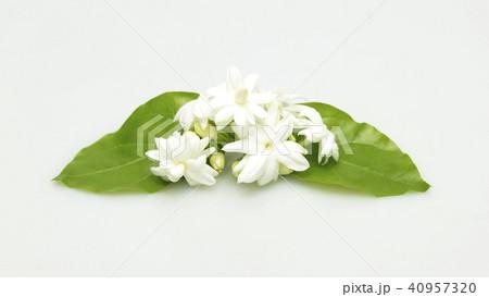 White jasmine flowers fresh flowers 40957320