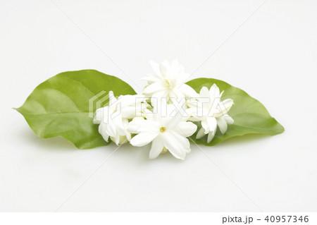 White jasmine flowers fresh flowers 40957346