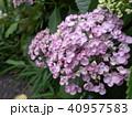 ピンクの紫陽花 40957583