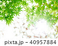 新緑 葉 楓の写真 40957884
