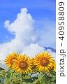 入道雲 ひまわり 向日葵の写真 40958809