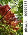 楓 新緑 植物の写真 40959485