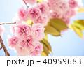 里桜 八重桜 春の写真 40959683