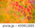 秋 紅葉 葉の写真 40961889