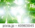 新緑 若葉 葉の写真 40963045