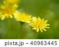 タンポポ 花 春の写真 40963445