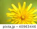 タンポポ 花 春の写真 40963446