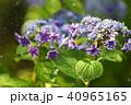 紫陽花 あじさい 花の写真 40965165