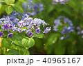 紫陽花 あじさい 花の写真 40965167