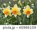 スイセン 花 植物の写真 40966109