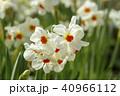 スイセン 花 植物の写真 40966112