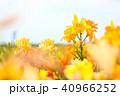 ユリ 花 植物の写真 40966252