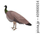 孔雀 ピーコック 鳥のイラスト 40966654