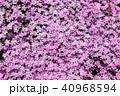 芝桜 植物 ハナシノブ科の写真 40968594
