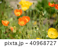ポピー 花 ヒナゲシの写真 40968727
