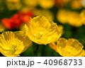 ポピー 花 ヒナゲシの写真 40968733