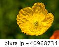 ポピー 花 ヒナゲシの写真 40968734