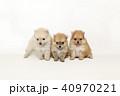 ポメラニアン ポメ 子犬の写真 40970221