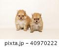 ポメラニアン ポメ 子犬の写真 40970222