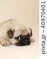 パグ 子犬  40970401