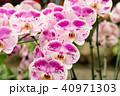 士林官邸蘭花展 士林官邸らん展 Moth Orchid 蝴蝶蘭 Phalaenopsis 胡蝶蘭 40971303