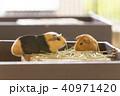 大牟田市動物園 モルモット、 40971420