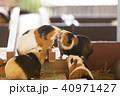 大牟田市動物園 モルモット、 40971427