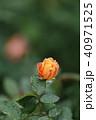バラ 薔薇 植物の写真 40971525