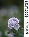 バラ 薔薇 植物の写真 40971526